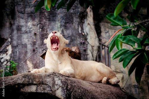 Fotobehang Lion Female white lion. A white liones