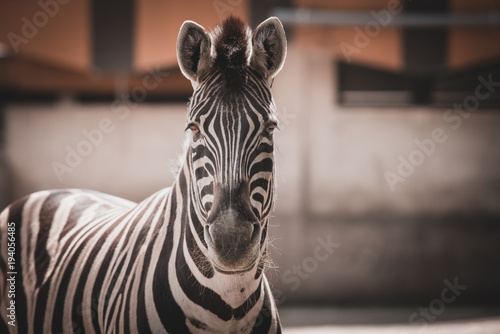 Zebra close up portrait