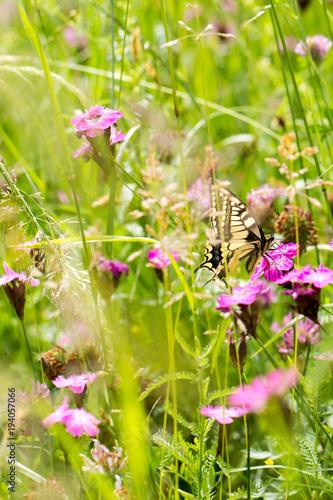 Aluminium Vlinder swallowtail on pink flower in meadow