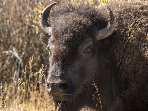 Fotobehang Bison Extreme close up of a Bull Bison