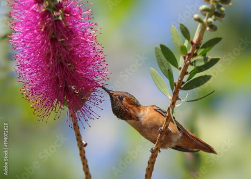 Tytuł: Piękny męski kolibra Allena karmienie na kwiat Callistemon.