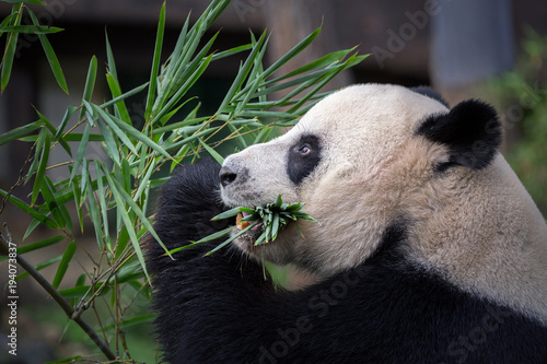 Plexiglas Panda Panda is eating bamboo leaves.