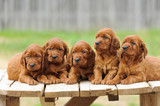 Five red setter puppies lie on wooden table - 194083272