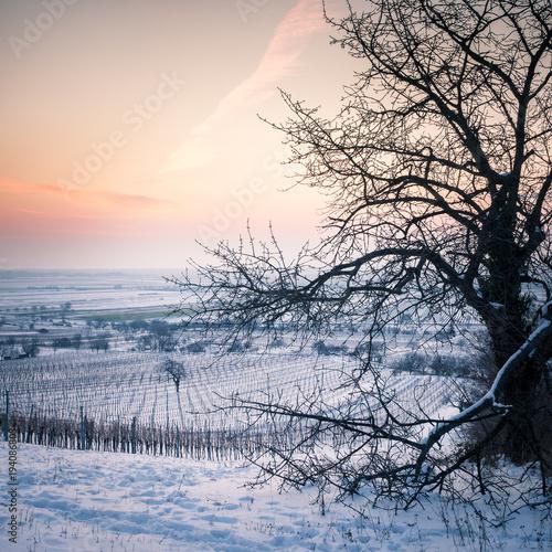 Foto op Aluminium Ochtendgloren Weinberg und Kirschbaum im Winter im Burgenland