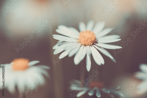 small spring daisy flower