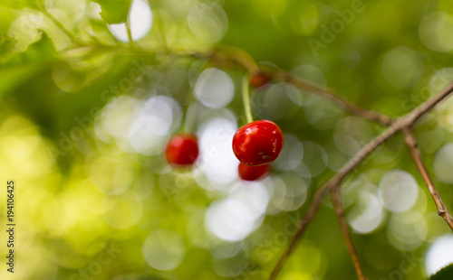 Fotobehang Kersen Red cherry on a tree in summer