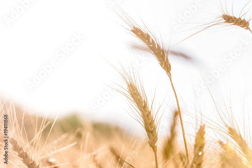 Tuinposter Natuur Ripe wheat in the field closeup