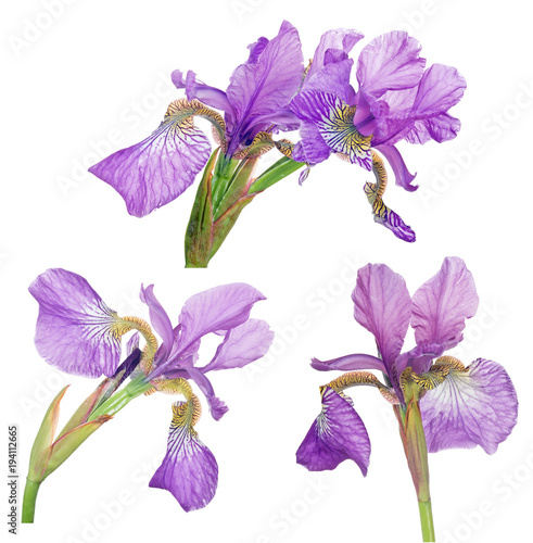 Fotobehang Iris group of lilac iris bloom isolated on white