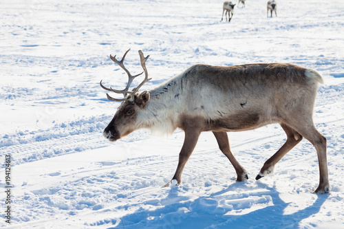 Aluminium Wit Reindeer in winter tundra