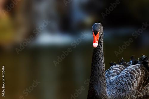 Aluminium Zwaan Black Swan Closeup With Copy Space