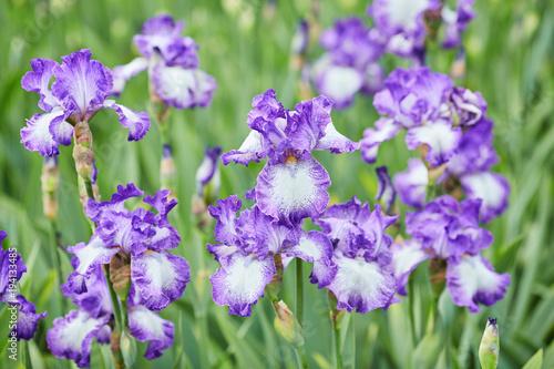 Fotobehang Iris Group of purple irises in spring sunny day.