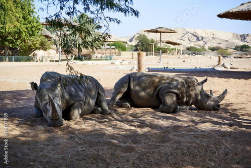 Plexiglas Neushoorn Rhinos chilling