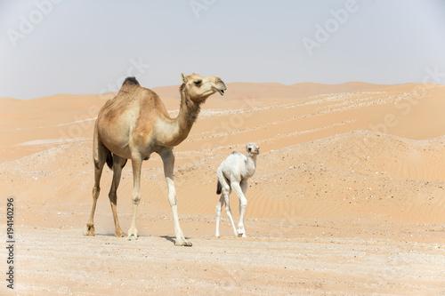 Fotobehang Abu Dhabi Proud Arabian dromedary camel mother walking with her white colored baby in the desert Abu Dhabi, UAE.