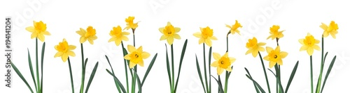 Daffodils z rzędu na białym tle