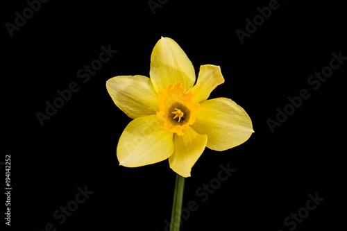 Yellow daffodil on black background.