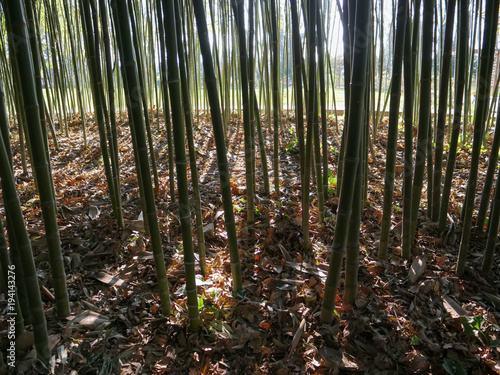 Fotobehang Bamboe Bamboo underwood with filtering sunlight