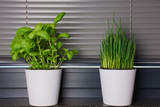 two white flower pots with basil and chives on the kitchen window bench - 194162615
