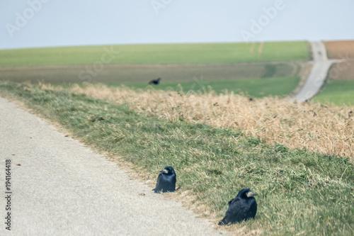 Staande foto Olijf Krähen auf Feldweg
