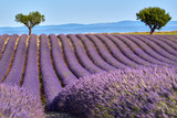 Lavender fields of Valensole with olive trees in Summer. Alpes de Haute Provence, PACA Region, France - 194164654