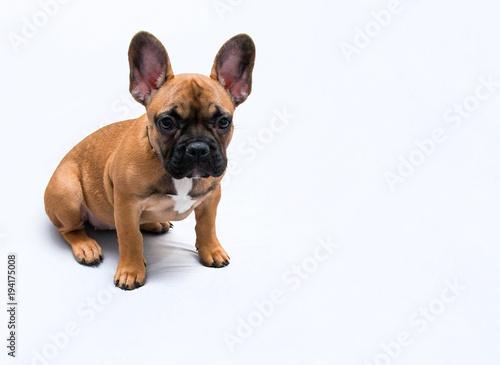 Staande foto Franse bulldog Buldog Francuski - szczeniak, miny, spojrzenia