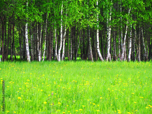 Aluminium Berkenbos birch grove in early spring on a sunny day, fresh greens, young green leaves in the sunlight. Beautiful birch forest, sunny landscape. Field with blooming dandelions, meadow, sunbeams