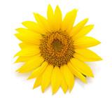 One yellow sunflower.