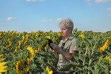 Female farmer or agronomist examining blossoming sunflower plant in field using tablet