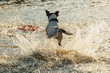 Back view of Jack Russell Terrier running fast in shallow water of sea.