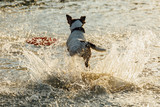 Back view of Jack Russell Terrier running fast in shallow water of sea. - 194183229