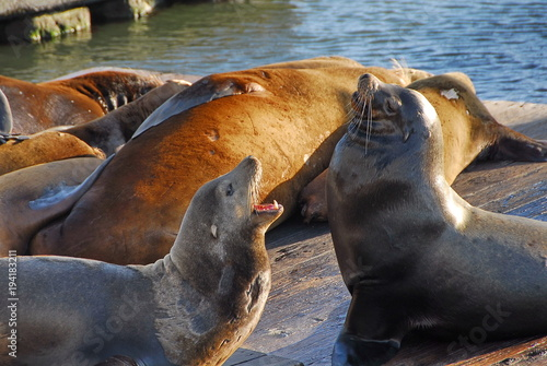 Foto op Canvas Natuur Sea lions. Pleasant conversation