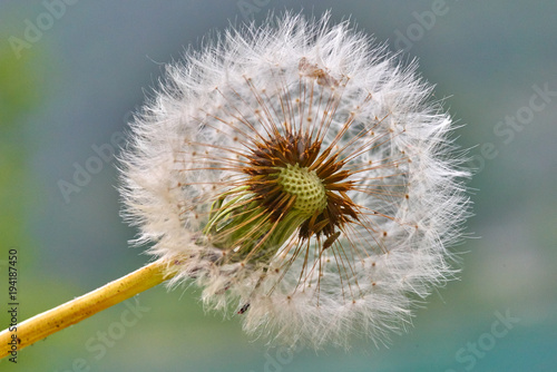 Dandelion on spring with green natural background