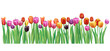 Border with multicolor vector tulips
