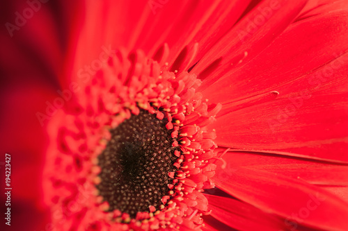 Poster Rood Macro image of red gerbera.