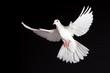 Leinwandbild Motiv Friedenstaube