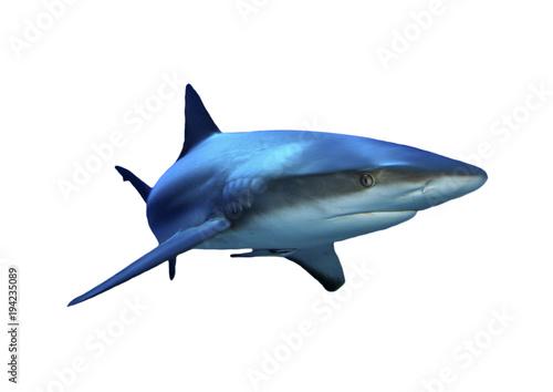 Shark isolated. Grey Reef Shark cutout on white background