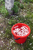 Red bucket in spring garden with water and white  petals