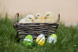 three adorable chicks posing in a basket outdoors - 194256625