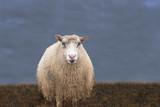 einzelnes Schaf auf der Wiese vor dunklem Himmel - 194261458