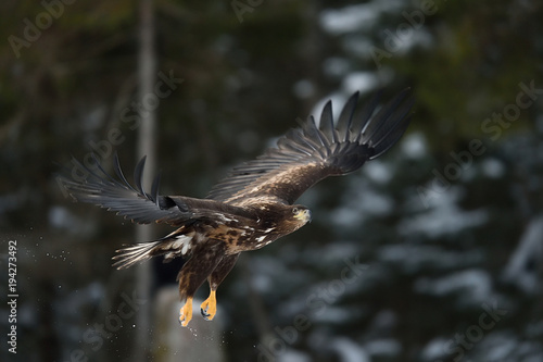Aluminium Eagle Eagle in flight with forest background