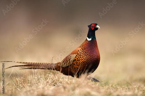 In de dag Gras Ringneck Pheasant (Phasianus colchicus)
