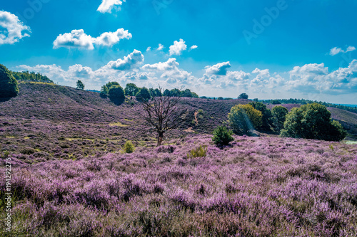 Fotobehang Lavendel Posbank National park Veluwe, purple pink heather in bloom, blooming heater on the Veluwe by the Hills of the Posbank Rheden, Netherlands