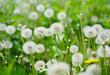dandelions on sunny meadow - 194296644