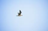 Flying white seagull - 194297624