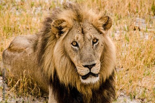 Fotobehang Lion Lo sguardo tranquillo di un giovane leone