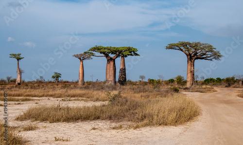 Foto Spatwand Baobab Gruppo di giganteschi baobab nella savana intorno a Morondava