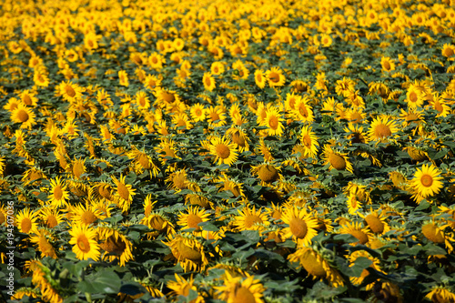 Fototapeta Sunflower field with blue clear sky