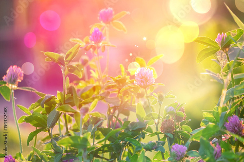 Wild flowers of clover in a meadow nature. Natural summer background with wild flowers of clover in the meadow in the morning sun rays close-up with soft blurred focus. - 194332468