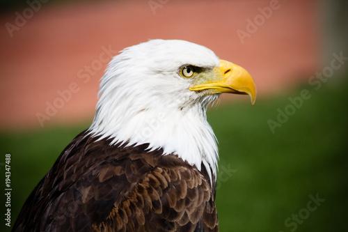 Aluminium Eagle Close up profile of bald eagle