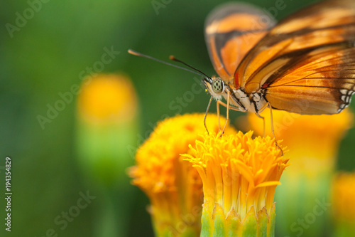 Aluminium Vlinder Lepidoptera
