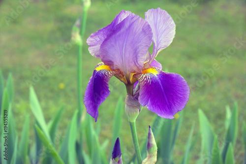 Fotobehang Iris Bearded purple iris flower in full bloom in the garden for your design. Floral nature background